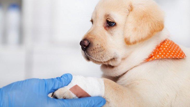 犬が『足を引きずっている』時に考えられる5つの病気やケガ
