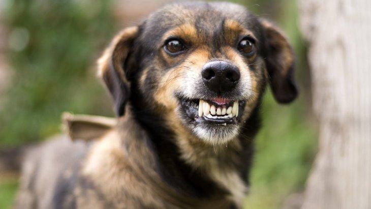 犬が歯を剥き出している時の2つの心理