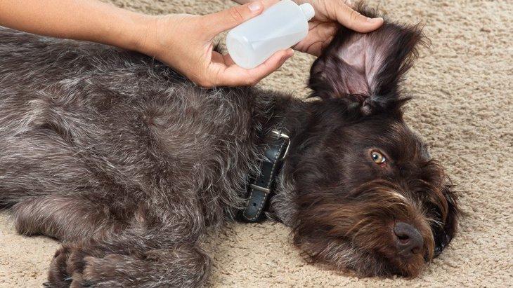 暴れてできない!犬が耳掃除を嫌がる時の対処法3選