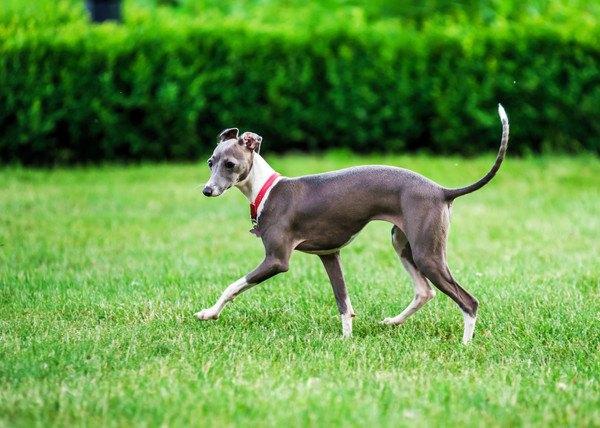 イタリアングレーハウンドの性格や特徴、飼い方から子犬の価格まで