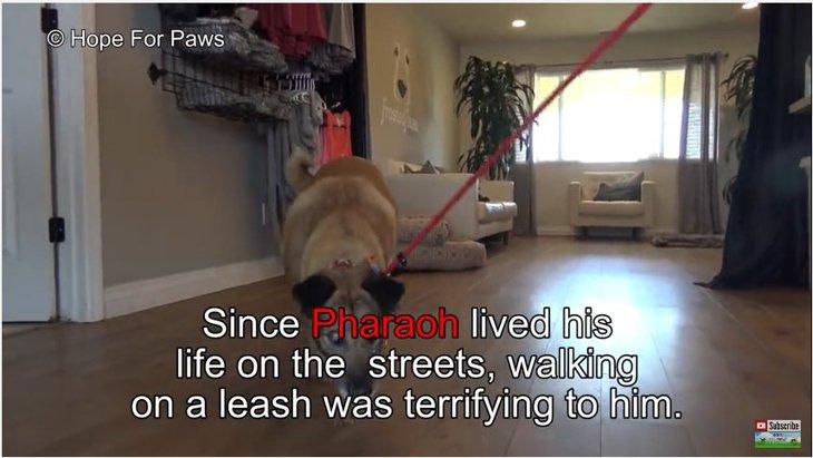 10年近く通りで暮らしていたホームレス犬が『リード生活』で学んだこと