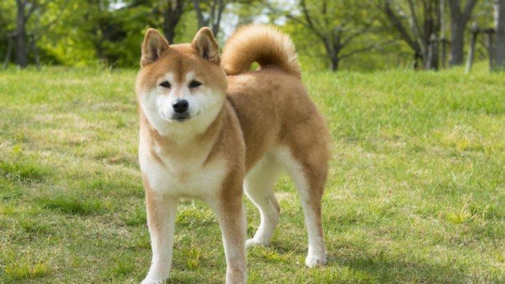 柴犬の大きさや体重、飼い方や性格や毛色について