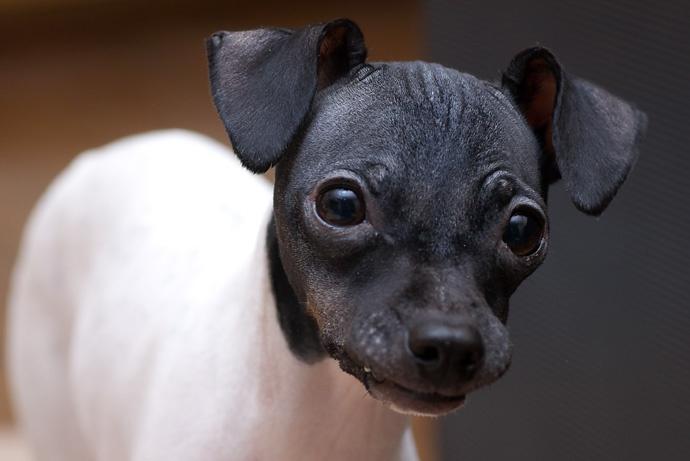 日本テリアは魅力たっぷりの希少犬種