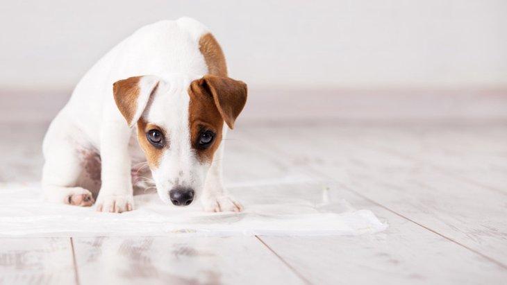 老犬のお漏らし対策3選!家庭でできる対処法