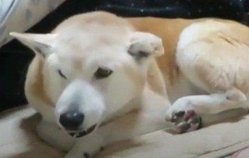 朝の幸せタイム♡お布団に潜り込む柴犬さんの表情にほっこり♡