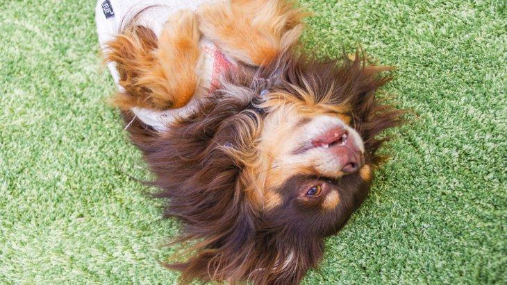 かわいすぎ♡つい構いたくなっちゃう『甘えん坊な犬種』5種