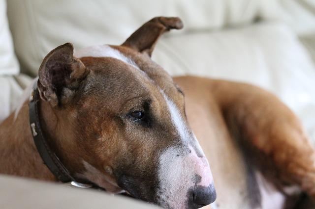 ミニチュアブルテリアってどんな犬?性格や特徴、しつけについて