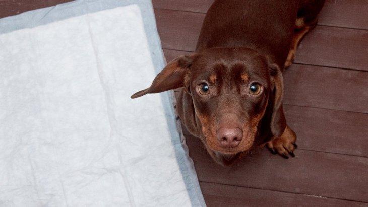 犬のウンチがトイレからはみ出てしまう!3つの理由と改善する方法