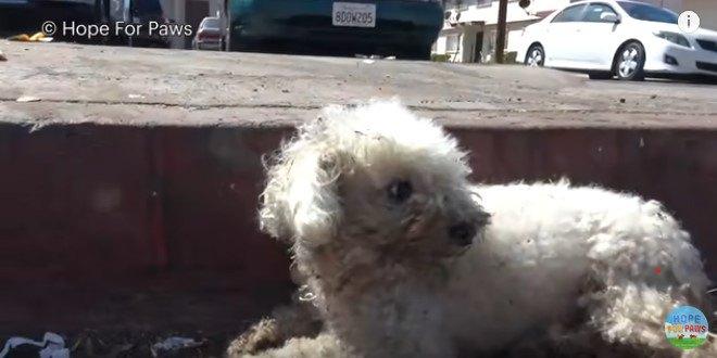 骨盤骨折で倒れていた泥だらけの小型犬はレスキュー&手術で大変身!