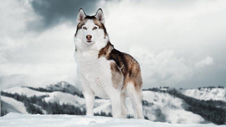アラスカの永久凍土から出た犬のフンから数百年前の犬の食事内容を分析