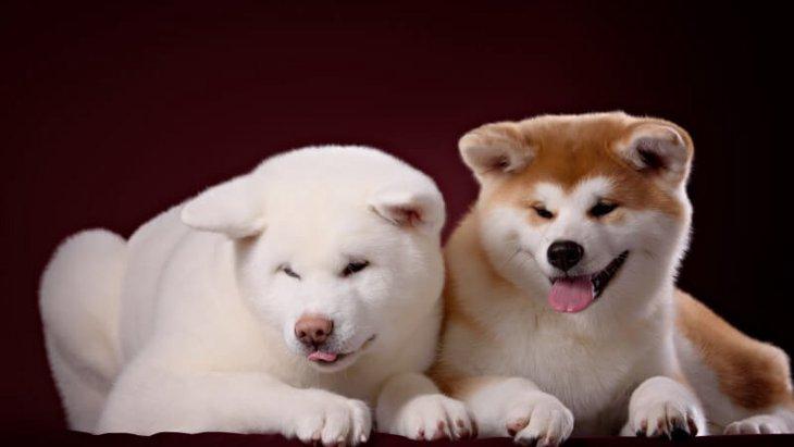 秋田犬の寿命と長生きの秘訣