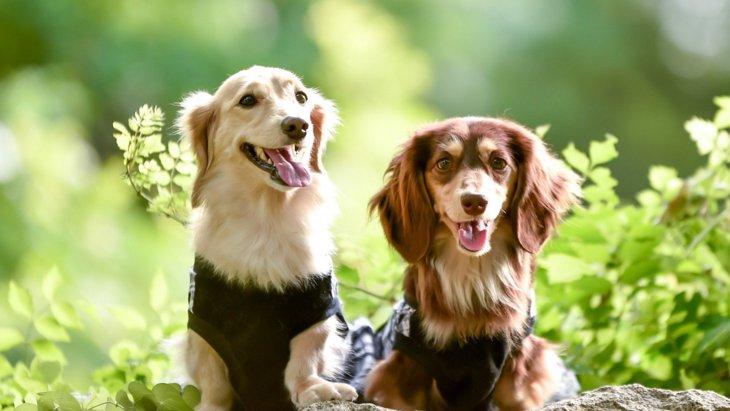 ミニチュアダックスフンドの犬種情報