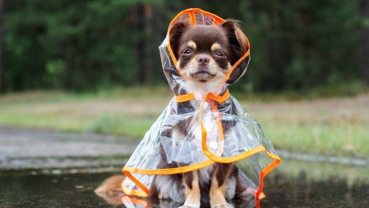 犬が『雨の日の散歩』を嫌がる心理とは?