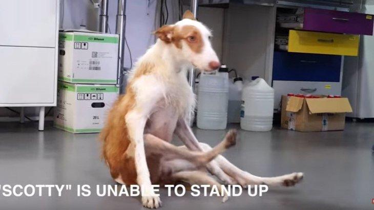 「猟犬として役に立たない」と脊椎を折られた犬。でも彼は諦めなかった