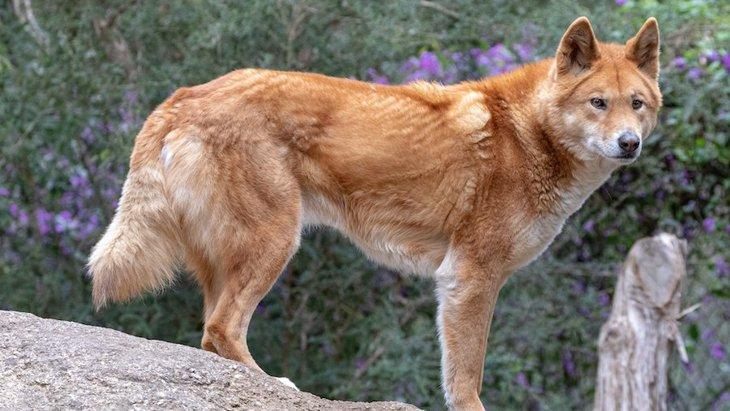 オーストラリアの20人の科学者が発表、ディンゴは犬ではない!