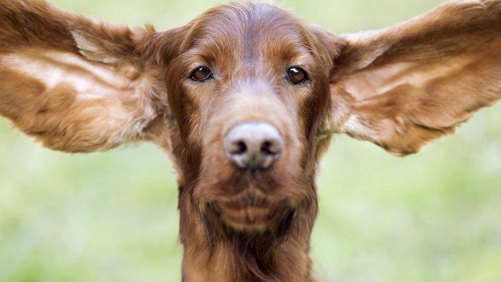 犬の耳掃除で絶対にしていはいけないNG行為4選