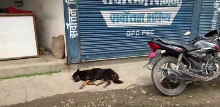 ネパールで緊急事態!ロックダウンによって飢えに苦しむ野良犬たちを救え!