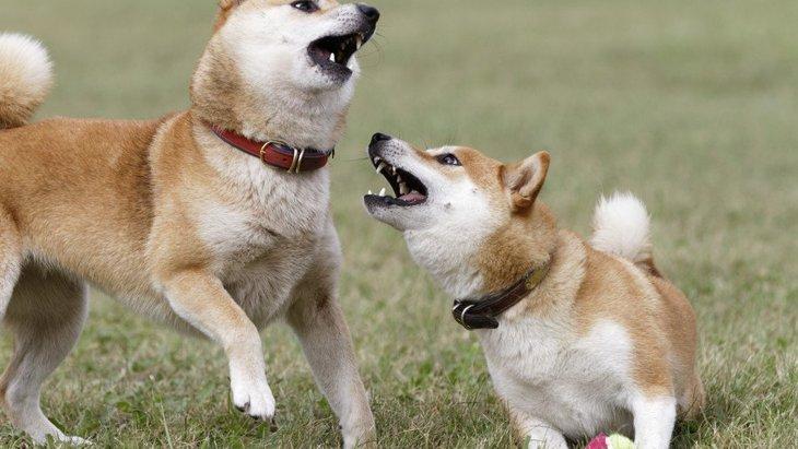 犬同士が急に喧嘩し始める理由とは?じゃれあいとの違いまで