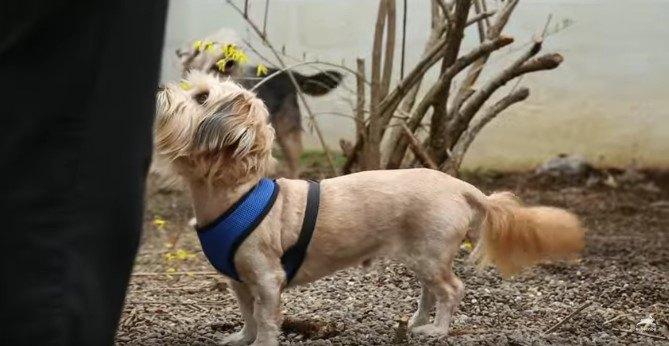 外飼いで2度も野犬に襲われた小型犬。緊急保護からの回復劇に涙