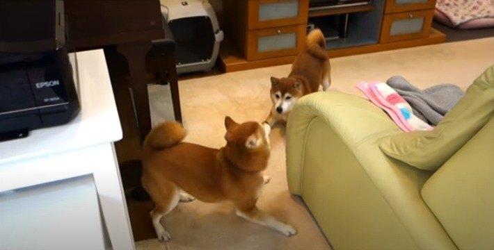 【仲良し】柴犬親子と猫さんのじゃれ合いっこにほっこり♡