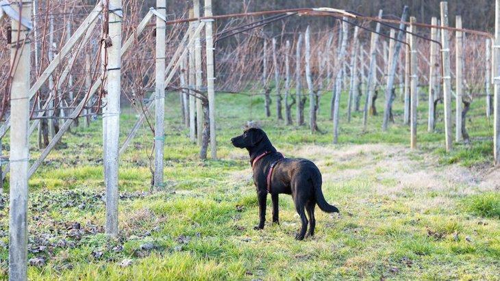 チリのワインメーカーで品質検査のために働く犬たち