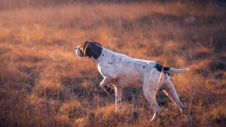絶滅危惧種守るために働く「保護探知犬」の研究