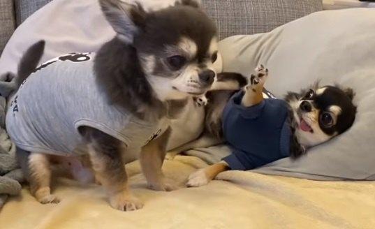 【8ヶ月VS13歳】パピー犬とハッスルする無邪気なチワワさん