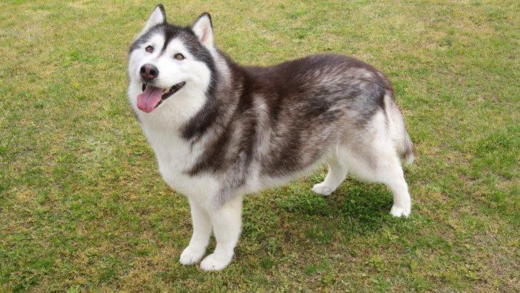 大型犬の性格の特徴5つ