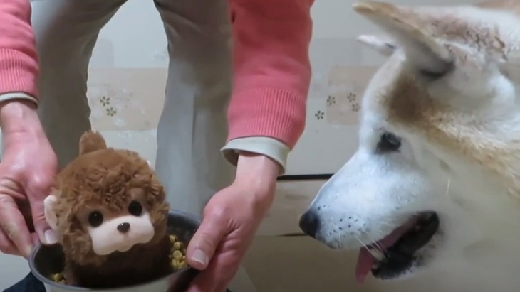 """優しすぎる柴犬ちゃんの食器に""""ぬいぐるみ""""を入れたら?試してみた結果"""