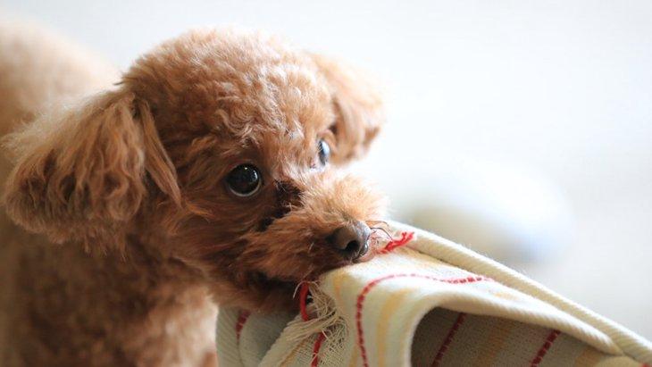 お出迎えの時に犬がスリッパを咥えるのはなぜ?犬の4つの本能と習性