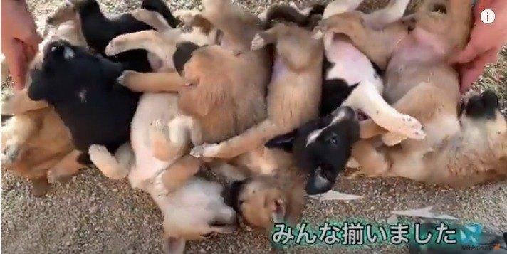 【ネパール】7匹の野良子犬を並べて寝かしてみた【7兄弟】