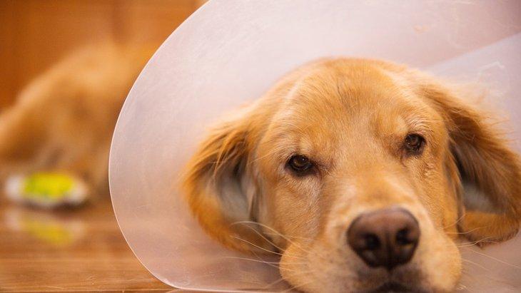 犬にとってエリザベスカラーはストレスになる?