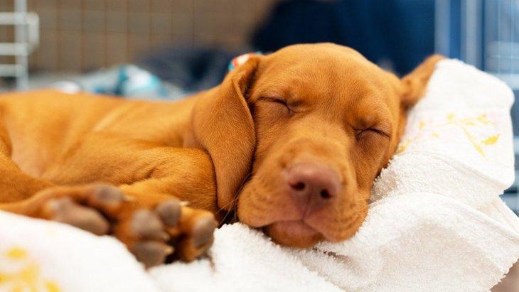 犬が寝ているときに『しっぽを振る』心理3選