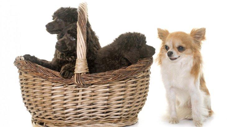 『体臭が少ない犬種』4選!飼う時に注意すべきポイントは?