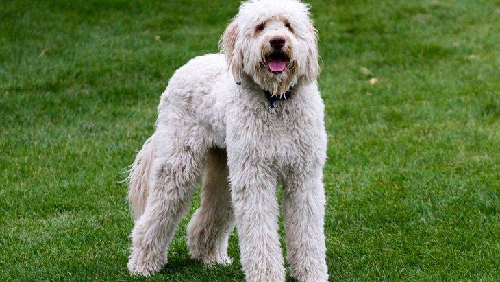 ラブラドゥードルってどんな犬?性格や特徴、ブリーダーから子犬の値段まで