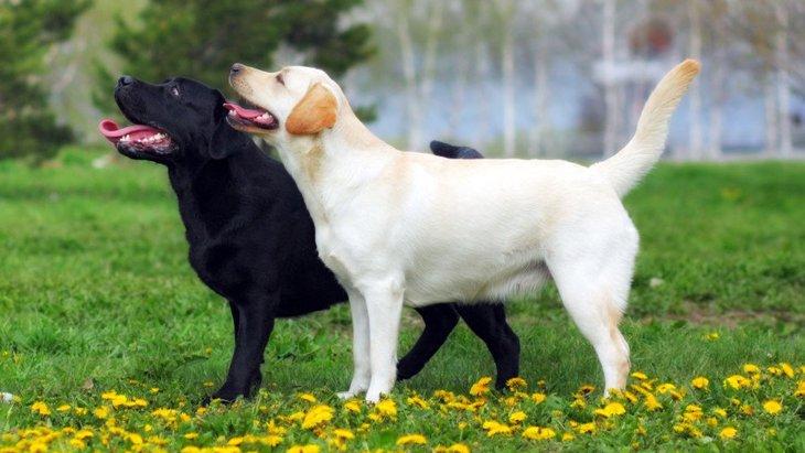 犬の股関節形成不全の遺伝的要因を検証した研究結果