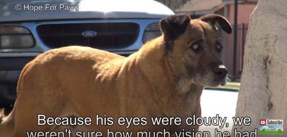 盲目の高齢犬の保護。黙々と我が道を行く彼は幸せにたどり着けるのか?