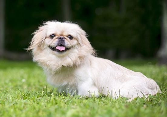 ペキニーズの犬種情報