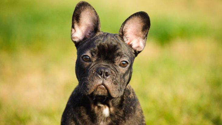 フレンチブルドッグの飼い方!子犬期を室内で育てるコツや注意点