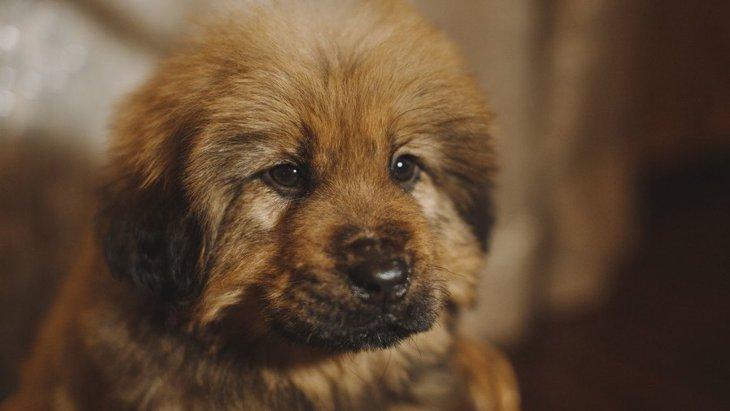 世界一高い犬のランキングTOP5!その値段の目安や特徴など