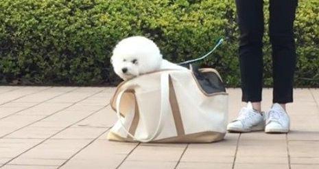 ふわもこわんこさんのお散歩風景にほっこり♡バッグに入るまで帰れません!