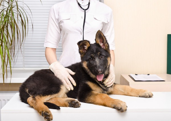 犬の胆嚢(たんのう)の病気 症状と予防と治療法