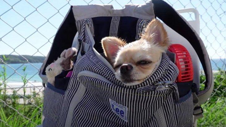 愛犬とドライブ!日本海を一望できるお洒落なカフェで思いがけず映えてしまったチワワさん♡