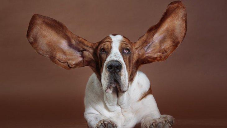 耳が長い犬種4選!性格から飼う時の注意点まで
