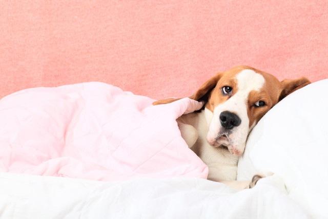犬の肝炎について 症状や原因、治療と予防法まで