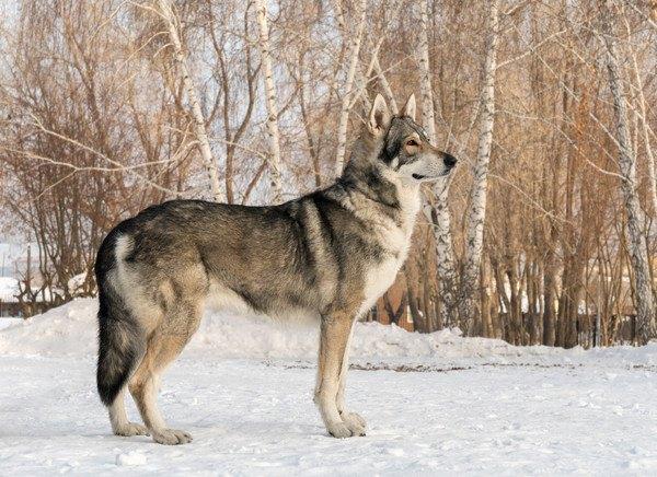 ウルフドッグってどんな犬?性格や特徴、価格や飼い方まで