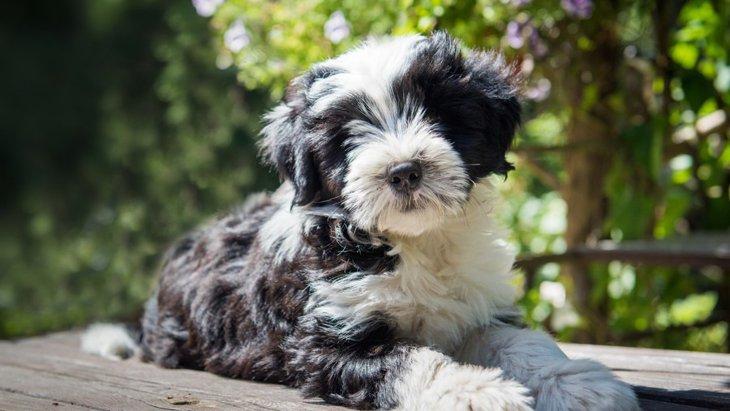 絶滅危惧種に指定されている犬種5選