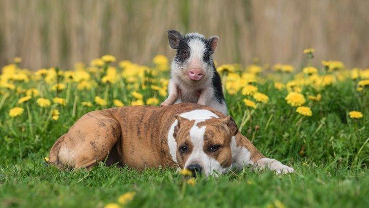 ペットのブタと犬を比較したリサーチ結果、どんな違いがあった!?