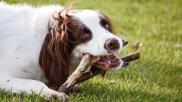 犬が何でもかじってしまう理由としつけ方法