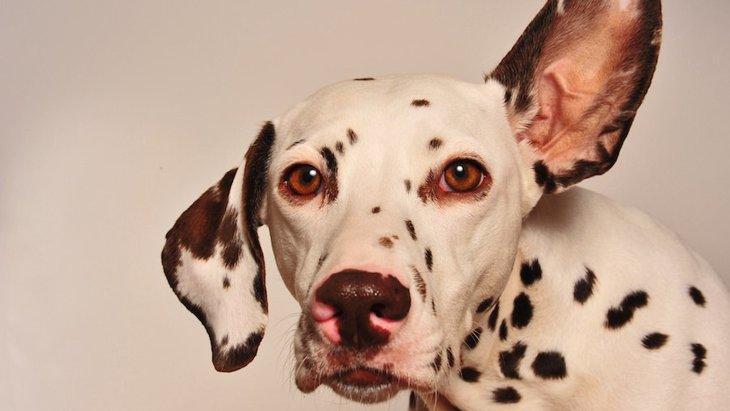 「もしかして聞こえていない?」犬の難聴について知っておきたいこと